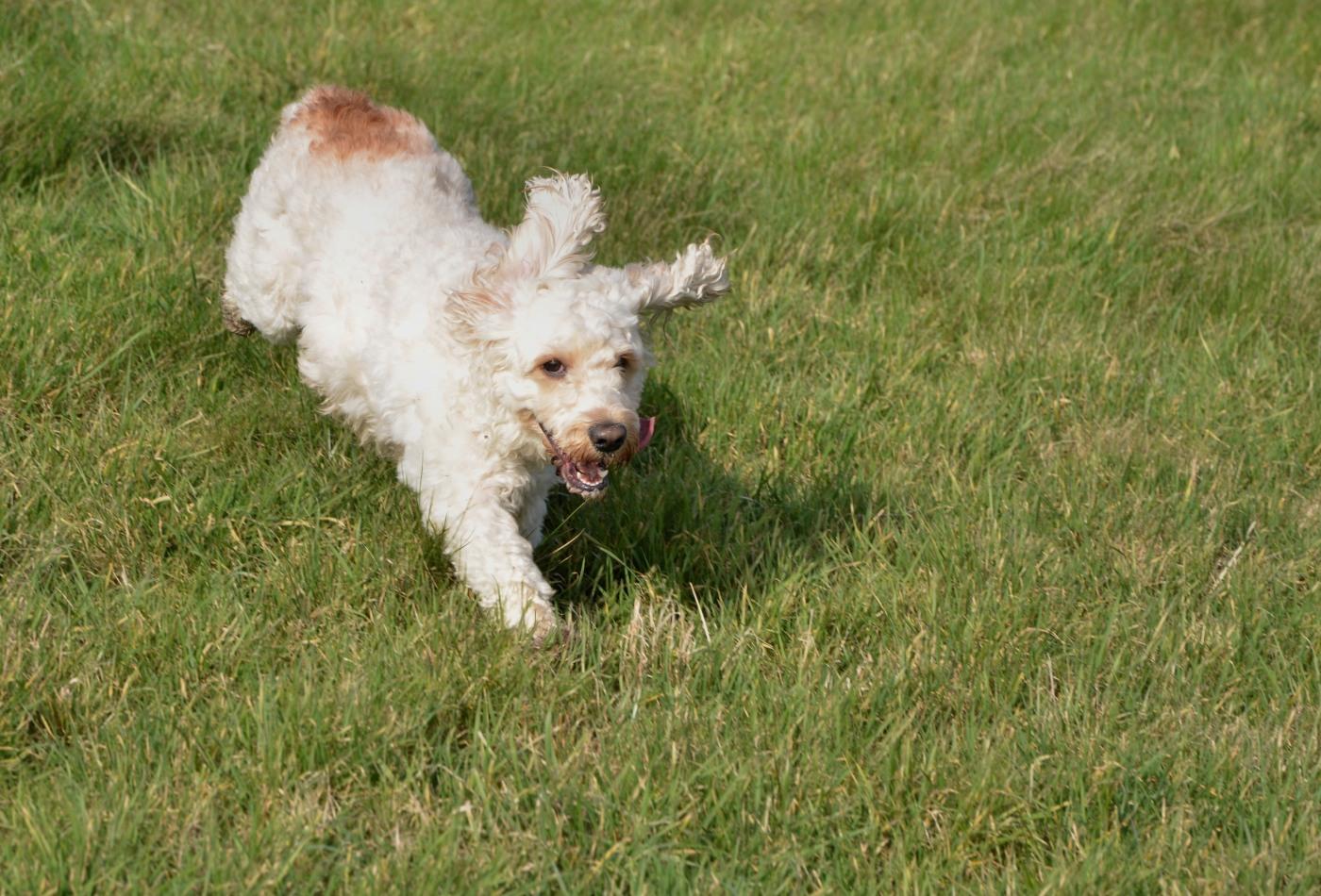 photographie de chien qui court dans lherbe