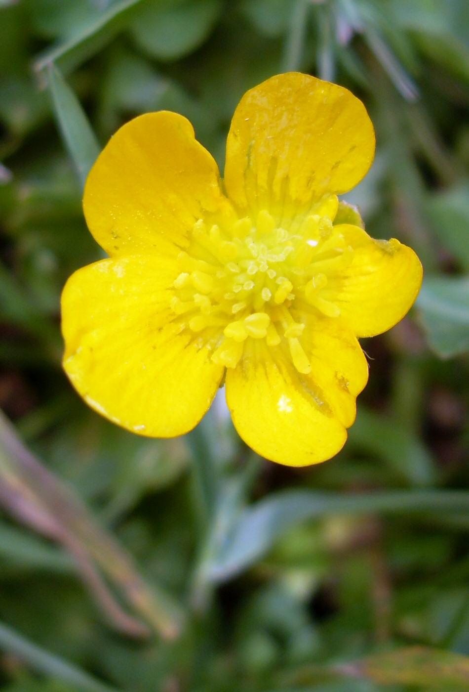 Photographie de fleur bouton d'or.