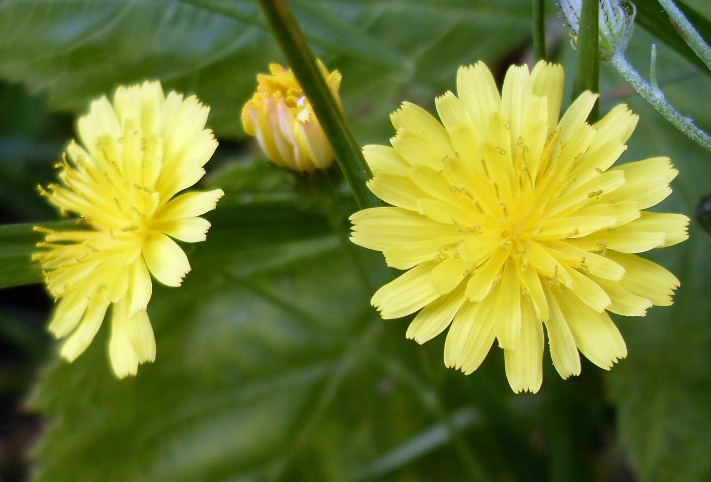 Fleurs jaunes sauvages