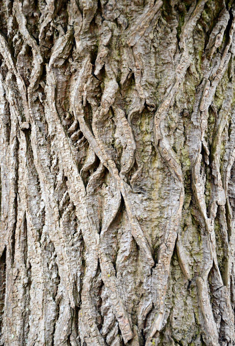 Ecorce d'arbre (orne)